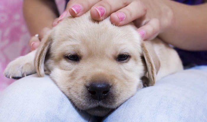 süße Bilder - ein Welpe will im Schoß der Besitzerin schlafen, die Augen sind halb geschlossen