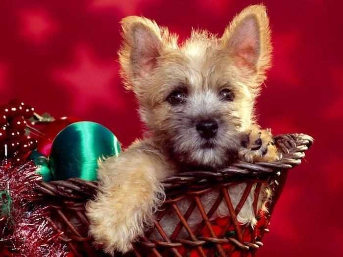 Schöne Weihnachtsbilder von einem Hundchen in Korb, festliche Dekoration, roter Hintergrund