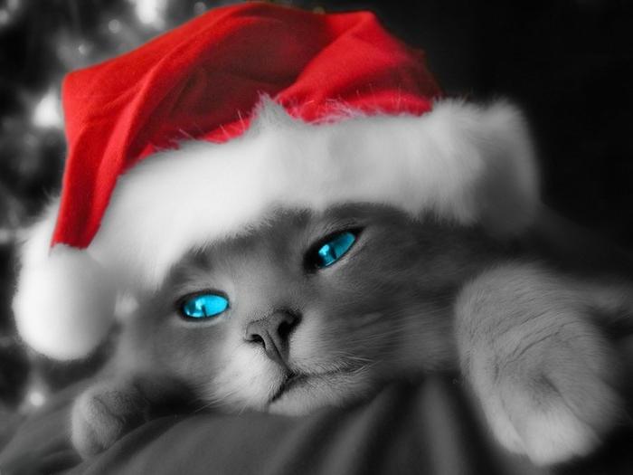 graue Katze mit blauen Augen und Weihnachtsmannmützen in blauen Hintergrund - lustige Bilder zu Weihnachten