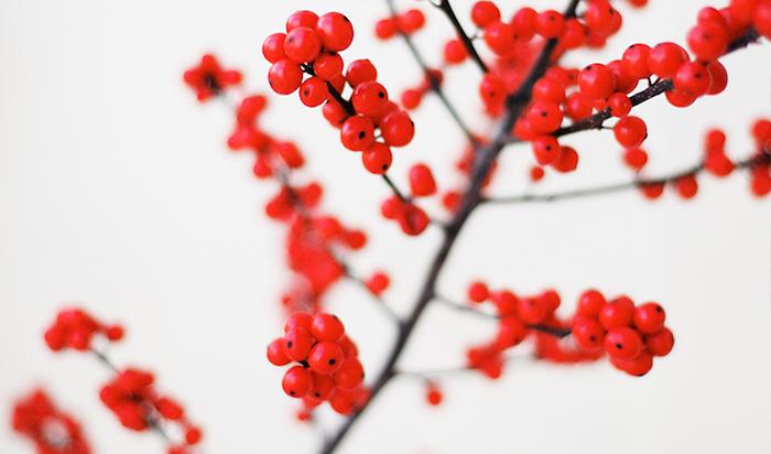 schwarzer Mistelzweig mit vielen kleinen roten Früchten, Schnee-hintergrund