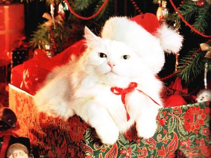 eine niedliche weiße Katze mit Weihnachtsmannmütze in einem Geschenk - lustige Weihnachtsgrüße