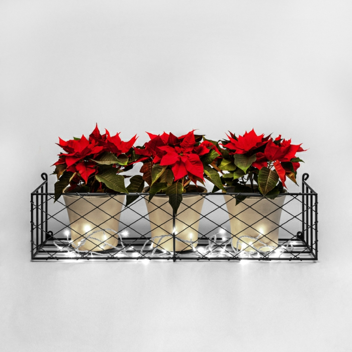drei weiße Blumentöpfe mit eingepflanzten Weihnachtssternen, frische Adventssterne mit großen dicken Blättern mit dunkelgrüner Farbe, drei Christsterne (Poinsettien), Blumenständer aus Metall für den Außenbereich, leuchtende Lichterkette als Deko im Außenbereich, Foto mit weißem Hintergrund