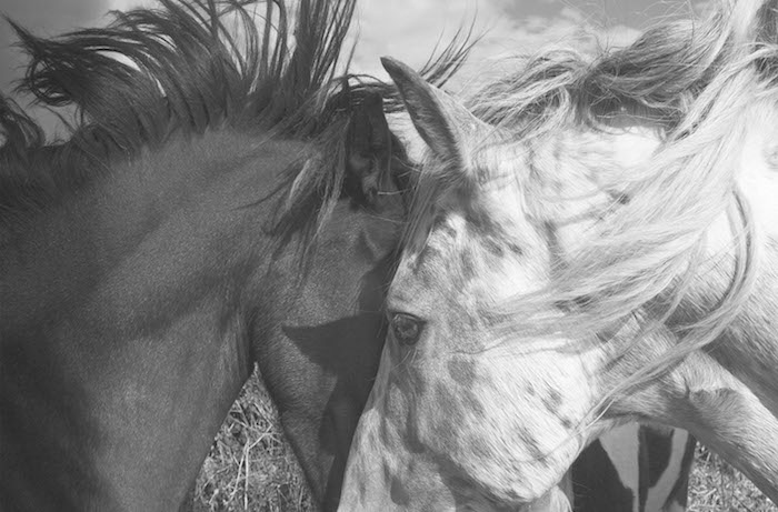 zwei arabische Pferde
