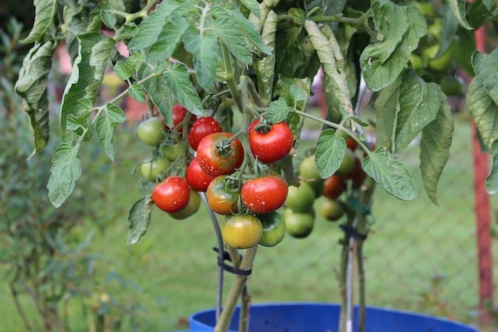 Garten- und Balkongestaltung - niedliche Tomaten