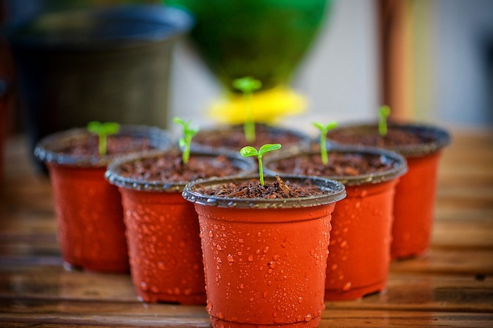 Wann sollte man die Tomaten säen