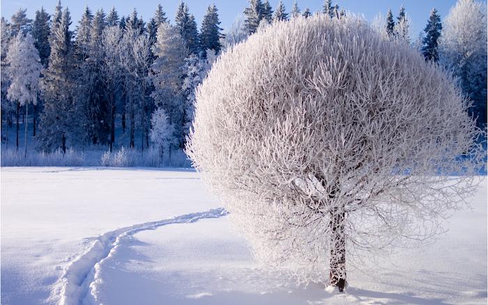 ein weißer baum mit schnee - ein wald mit vielen bäumen - schönes winterbilld