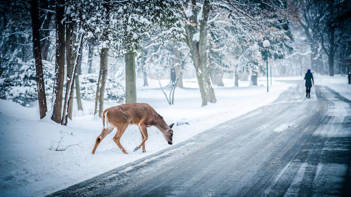 ein winterbild mit einem reh und einem weg mit einem menschen - wintergarden mit bäumen und schnee