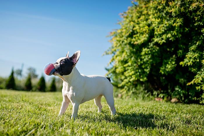 spielzeug hund, buldogge mit selbstgemachtem spielzeug in bau und rot, kleiner ball