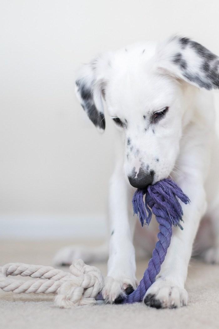 spielzeug hund, kleiner hund mit selbstgemachtem spielzeug, lila seil, haustier