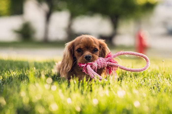 hund mit leine spielzeug, kleiner brauner hund mit spielzeug aus seil, haustier