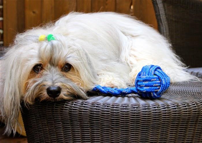 hund mit leine spielzeug, hundespielzeug aus blauem seil, kauspielzeug für hunde