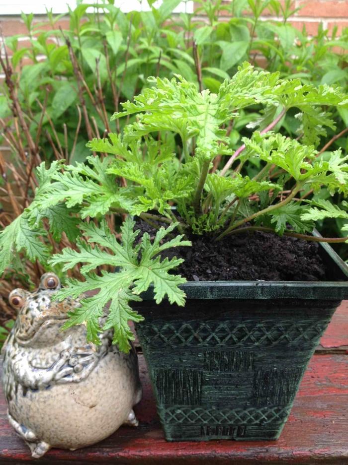 schwarze Blumenkübel bepflanzen mit einer Zimmerpflanze, ein Frosch aus Beton