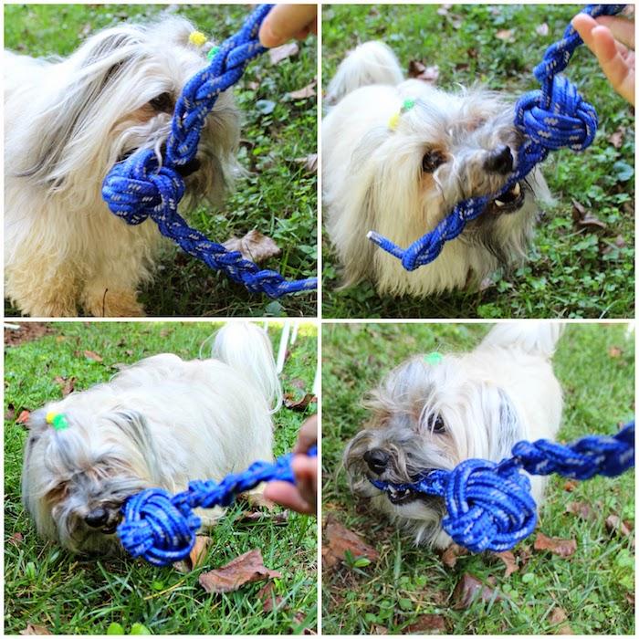 hund mit leine spielzeug, keiner hund, der mit kauspielzeug aus blauem seil spielt