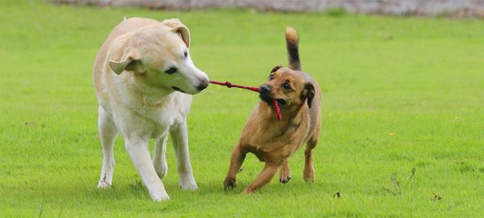 hund mit leine spielzeug, labrador, hunde mit kauspielzeug aus rotem seil, hundespiele