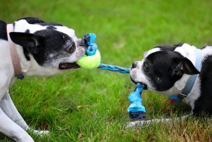 hundespielzeug ball, zwei hunde mit kauspielzeug aus stoff und tennisball