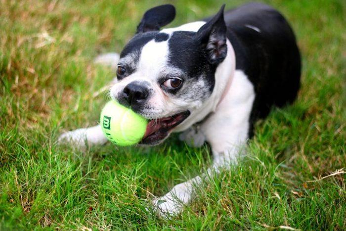 hundespielzeug ball, kleiner hund mit tennisball, hundespiele, wasserspielzeug hund