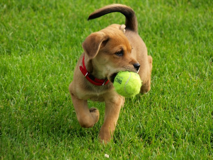 spielzeug hund, kleiner brauner hund mit tennisball, hundespiele, hund dressieren