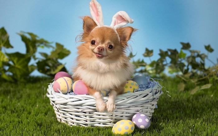 ein weißer korb mit vielen gefärbten gelben, violetten, pinken und blauen ostereiern, lustige osterbilder, ein kleiner brauner hund mit schwarzen augen und weißen hasenohren,