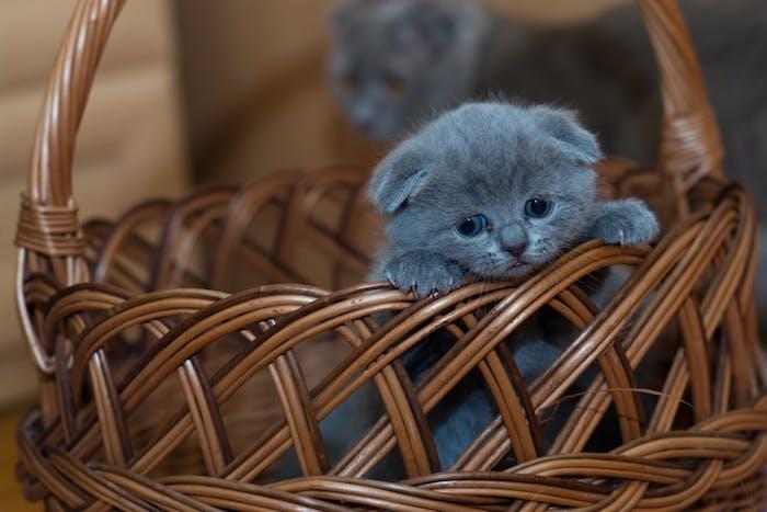kleine . graue niedliche katze mit einer schwarzen nase, langen weißen schnurrhaaren und zwei blauen augen, schöne katzenbilder kostenlos, ein brauner korb mit einer kleinen katze