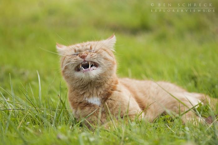 eine gelbe katze mit weißen zähnen, einer pinken nase und langen weißen und schwarzen schnurrhaaren, witzige katzenbilder kostenlos