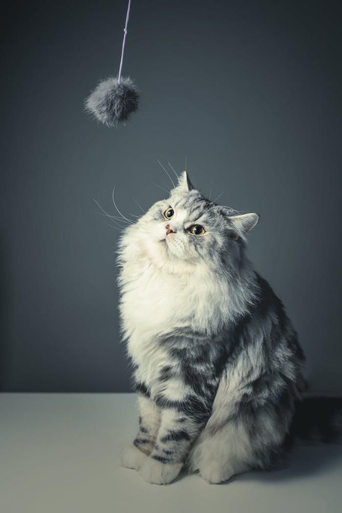 graue katze mit langen weißen schnurrhaaren, einer pinken nase, ein lustiges katzenbild, ein kleines graues katzenspielzeug und eine katze