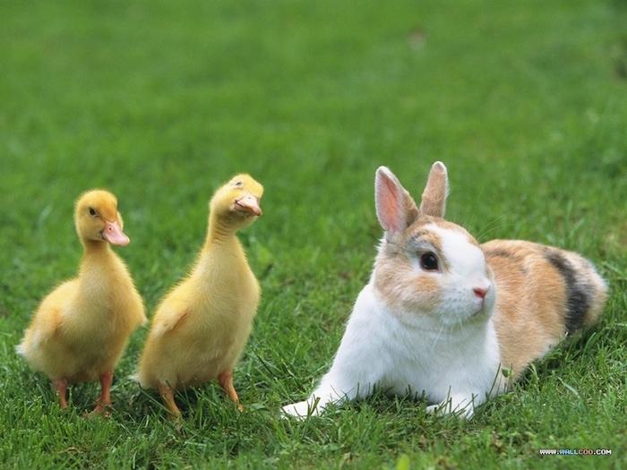 grass, zwei kleine gelbe entlein mit schwarzen augen, witzige osterbilder, ein kleiner hase mit schwarzen augen