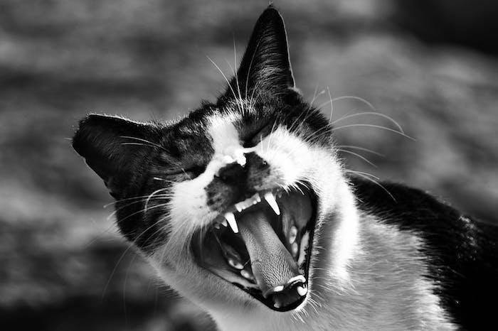 ein schwarz-weißes lustiges katzenbild mit einer weißen katze mit weißen zähnen einer schwarzen nase und langen weißen schnurrhaaren und schwarzen ohren, lustiges katzenbild mit einer schrecklichen katze