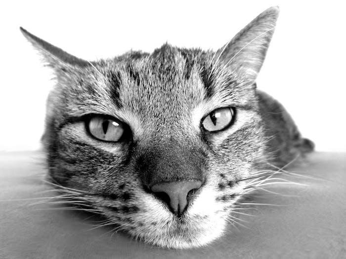 eine große graue katze mit langen weißen schnurrharen und einer kleinen grauen nase, lustige katzenbilder kostenlos herunterladen