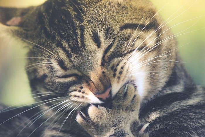eine schlafende große graue katze, lustige katzenbilder kostenlos herunterladen, eine katze mit langen weißen schnurrhaaren, einer kleinen pinken nase
