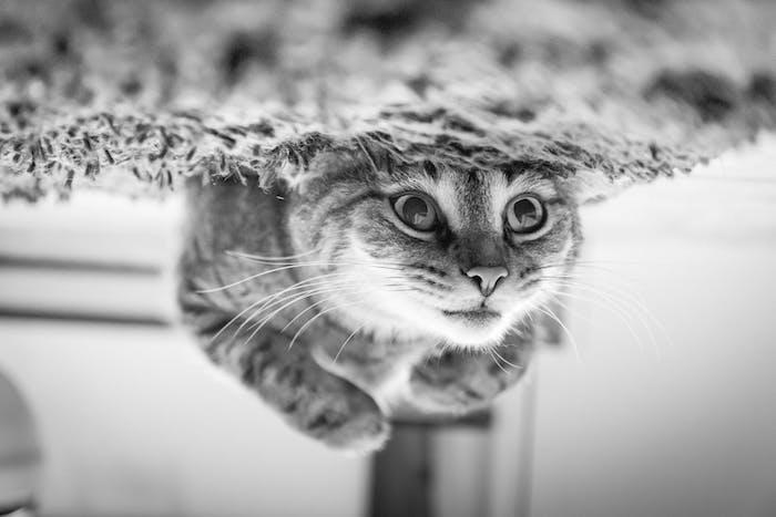 ein grauer teppich und eine große graue katze, lustiges schwarz-weißes katzenbild mit einer katze mit langen weißen schnurrhaaren und einer grauen nase