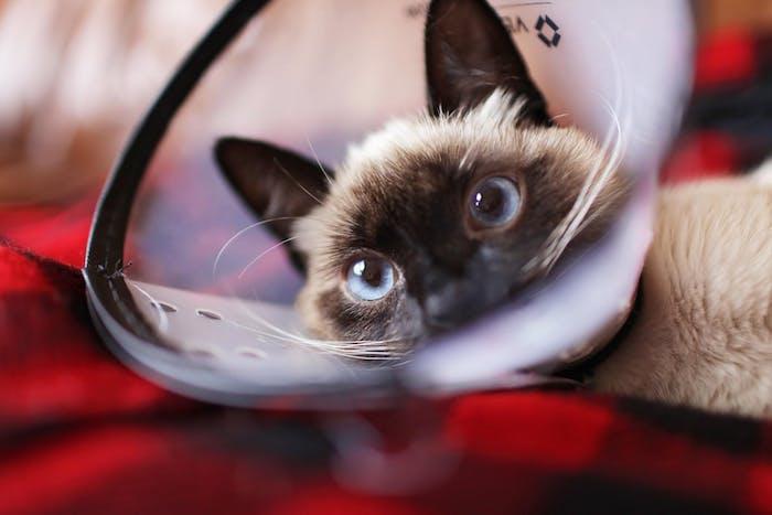 ein lustiges katzenbild mit einer beigen katze mit blauen augen und langen weißen schnurrhaaren und zwei schwarzen ohren, witzige katzenbilder kostenlos herunterladen