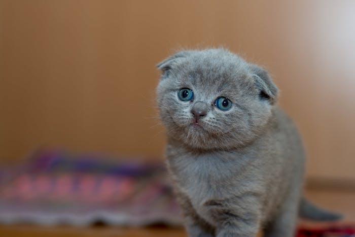 ein katzenbild mit einer grauen kleinen niedlichen kate mit blauen augen und langen weißen schnurrhaaren und einem grauen schwanz