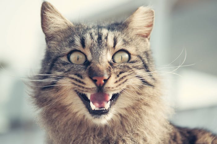 große graue schreckliche katze mit einer roten nase, langen weißen zähnen und zwei großen grünen augen, katzenbilder lustig mit sprüchen
