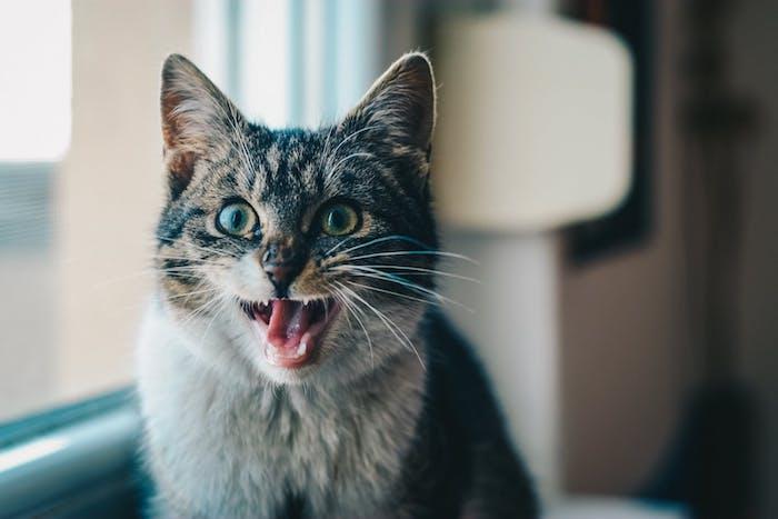 ein fenster und eine schreckliche graue katze mit weißen zähnen und langen weißen schnurrhaaren und zwei großen grünen augen, katzenbild lustig