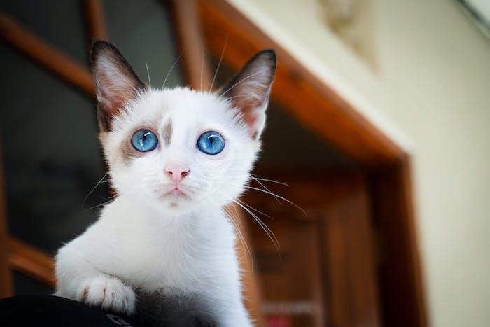 eine kleine weipe katze mit einer kleinen pinken nase und mit blauen augen und langen weißen schnurrhaaren und ein fenster aus holz, katzenbilder lustig