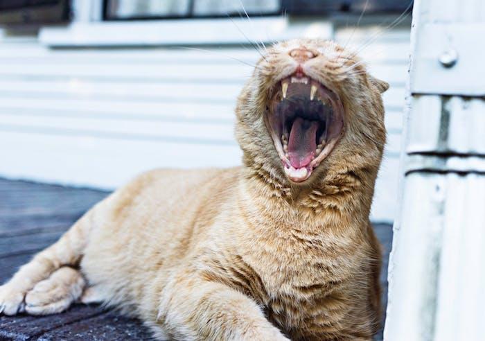 eine große gelbe schreckliche katze mit gelben zähnen und langen weißen schnurrhaaren, eine weiße wand aus holz, katzenbilder lustig kostenlos