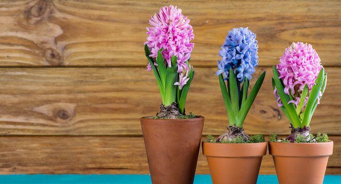 Drei Hyazinthen in Blumentöpfen in Lila und Rosa, Frühlingsblumen zu Hause pflegen