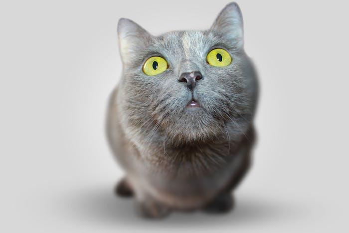 eine große graue katze, lustige katzenbilder kostenlos, eine katze mit einer schwarzen nase, zwei großen augen und langen weißen schnurrhaaren