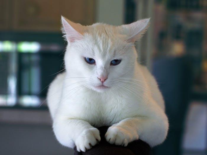 schreckliche große weiße katze mit einer kleinen pinken nase, zwei blauen augen und langen weißen schnurrhaaren, schöne katzenbilder mit sprüchen