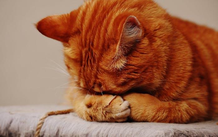 schönes katzenbild mit einer niedlichen, schlafenden, orangen katze mit orangen ohren und langen weißen schnurrhaaren