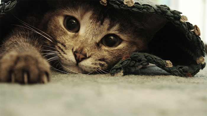 ein eppich und eine niedliche graue katze mit einer kleinen pinken nase, langen weißen schnurrhaaren und schwarzen augen und scharfen nageln