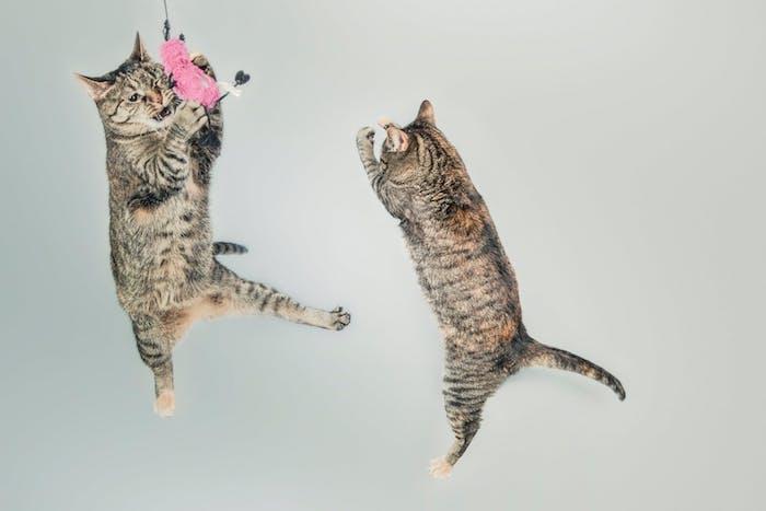 ein kleines pinkes spielzeug, witzige katzenbilder, zwei graue katzen im sprung, lustige katzenbilde kostenlos