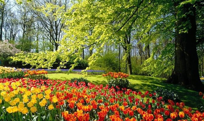 garten ideen, großer baum, grüner gras, orangen und roten tulpen, natur, landschaft