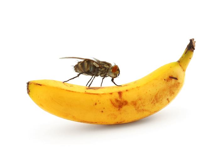 eine große fruchtfliege mit großen orangen augen und eine große gelbe banane, fruchtfliegenfalle selbst bauen