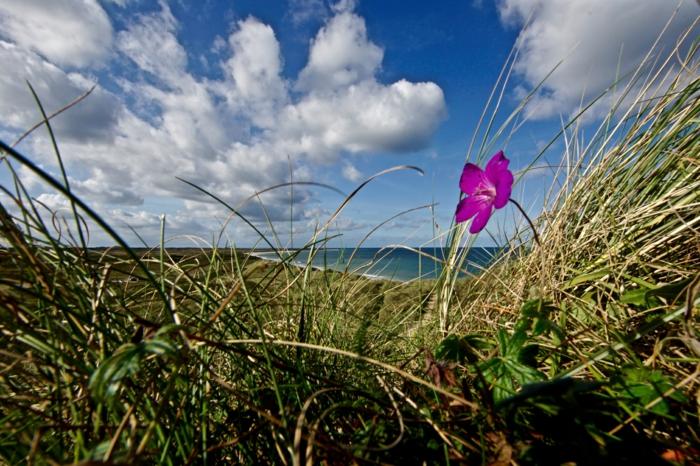ein lila Blume, grünes Gras, Meer, an der dänischen Nordseeküste