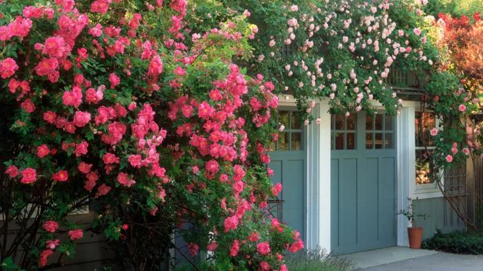 viele Nuancen von rosa Blumen, Kletterblumen, die die Fassade verstecken, Garten verschönern