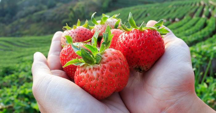 zwei hände mit großen roten erdbeeren mit grünen blättern, ein garten mit vielen grünen pflanzen