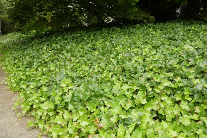 gewöhnlicher efeu helix hedera, einen garten gestalten, ein garten mit einem gartenweg, bäumen und mit vielen kleinen bodendecker pflanzen mit vielen grünen blättern