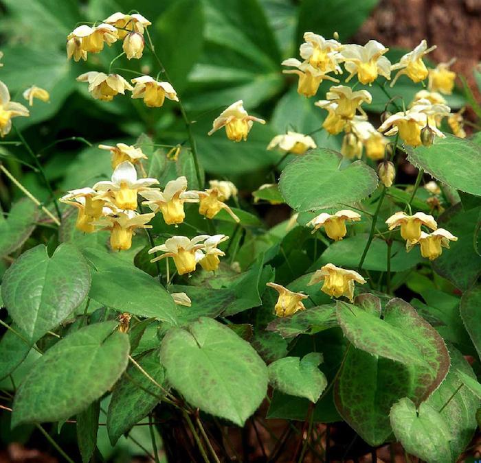 ein garten mit vielen kleinen gelbben bodendecker pflanzen, einen garten gestalten, kleine gelbe elfenblumen epimedium mit grünen blättern, bodendecker schatten