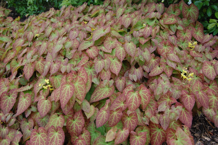 viele gelbe kleine elfenblumen mit grünen und roten blättern, ein garten mit epimedium pflanzen, bodendecker schatten